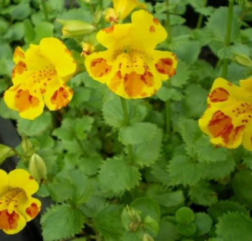 Großblütige Gauklerblume