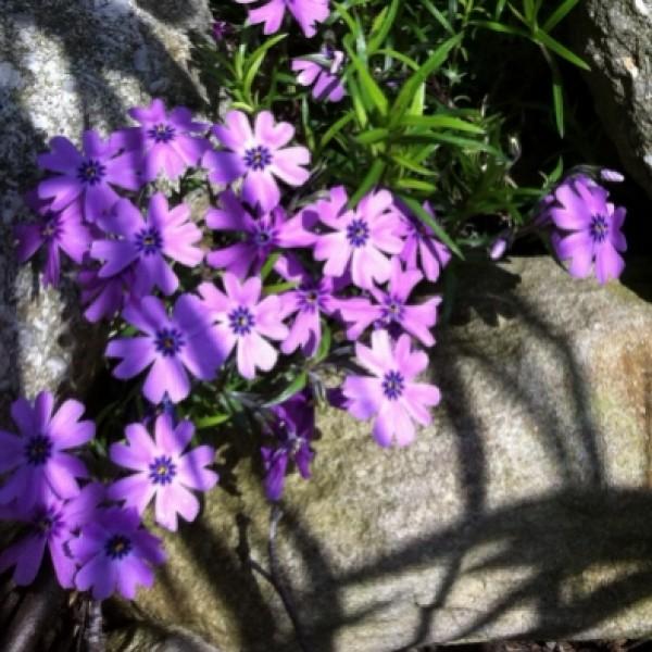 Violetter Teppichphlox