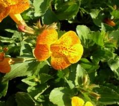 Orange Gauklerblume